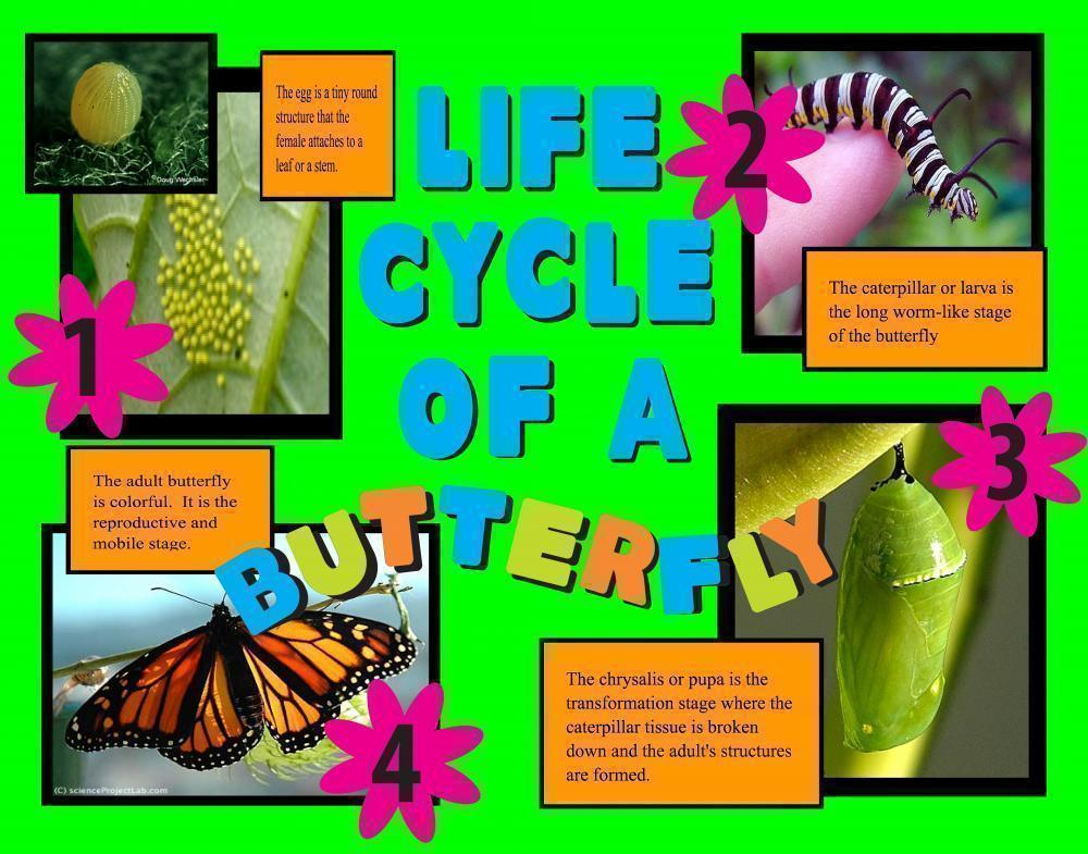 ... Project about Life Cycle of a Butterfly | Insect Science Poster Ideas